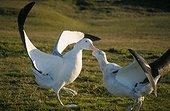 Couple d'Albatros hurleurs paradant Archipel de Crozet ; Le mâle est à gauche, la femelle à droite.