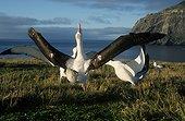 Parade d'Albatros hurleurs Archipel de Crozet