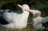 Portrait d'un couple d'Albatros hurleurs paradant tendrement ; Le mâle est à gauche, la femelle à droite. Archipel de Crozet.