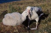 Albatros hurleur mâle nourrisant son poussin duveteux au nid ; Archipel de Crozet