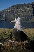 Poussin d'Albatros hurleur en train de muer sur son nid ; Archipel de Crozet