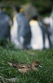 Mâle de Canard pilet de l'Ile Crozet et Manchots royaux ; Archipel de Crozet
