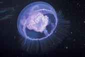 Méduse aurelia aurite sous l'eau Méditerranéee