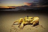 Ghost crab showing its eye Cape Range NP Australia