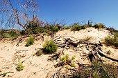Végétation dunaire après incendie PN El Kala Algérie