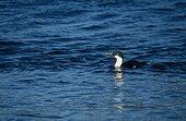 Cormorant de Crozet adulte en train de pêcher ; Archipel de Crozet