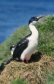 Cormorant de Crozet adulte sur le nid ; Archipel de Crozet, début de la saison de reproduction