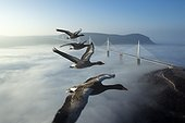 Greylag Goose flying over the Millau Viaduct ; Tarn valley, Aveyron, France<br>World's highest bridge (343m) - Architect Sir Norman Foster