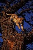Male leopard coming down from an acacia Kalahari Namibia