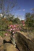 Faux baobab ou Rose du désert en fleurs Kruger NP RSA
