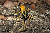 5-legged dyeing dart frog French Guiana