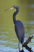 Tricolored Heron fishing in marshes Florida