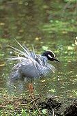 Bihoreau violacé en plumage nuptial se secouant USA