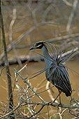 Bihoreau violacé en plumage nuptial ébouriffé USA