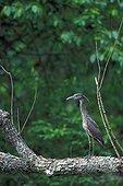 Jeune Bihoreau violacé sur une branche USA ; Plume de tête de plumage nuptial