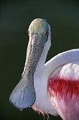 Portrait de Spatule rose Everglades Floride USA
