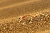 Gecko du désert sur le sable Swakopmund Namibie