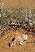 Young Arabian Oryx in the desert Saudi Arabia ; Ta'if