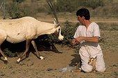 Soin sur un jeune Oryx par un vétérinaire Arabie Saoudite ; TAIF