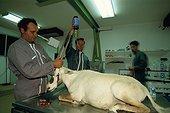Soins donnés à un Oryx avant relacher Arabie Saoudite ; TAIF