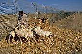 Nourrissage de jeunes Oryx avant relâcher Arabie Saoudite ; TAIF