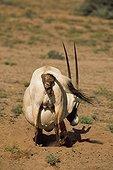 Naissance d'un Oryx Arabie Saoudite ; TAIF