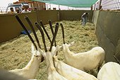 Arabian Oryx in a pen before reintroduction Saudi Arabia ; Ta'if