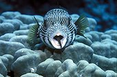 Cleaner wrasse in white-spotted puffer's mouth Egypt