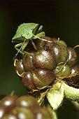 Punaise aspirant le fruit d'une mûre France