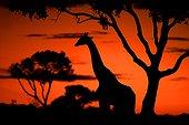 Masai Giraffe in the savanna at sunset Kenya