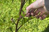 Suppression de boutons floraux de pommier en avril