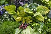 Récolte de plantes aromatiques avant séchage ou utilisation