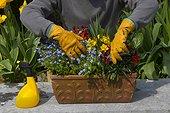 Suppression des fleurs fanées dans une jardinière en avril