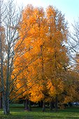 Mélèze du Japon à l'Arboretum National des Barres en octobre