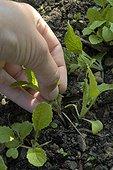 Eclaircissement des semis de navets