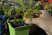 Eclaircir les jeunes plants de tomates en godets