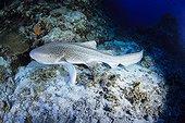 Zebra shark New Caledonia