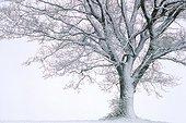 Oak tree in a snow storm Haute-Savoie France