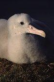 Poussin d'albatros hurleur au nid Crozet