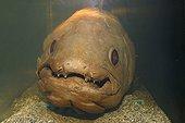 Coelacanthe Océarium du Croisic