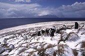 Crèche de Manchots Papous sous la neige Crozet