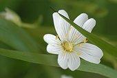 Fleur de Céraiste en gros plan