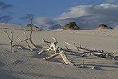 Branches mortes sur les dunes de sable au coucher du  soleil