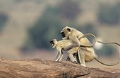 Male northern plains grey langurs in domination posture ; Hierarchal behaviour in a group of single males