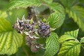 Punaises vertes sur jeunes fruits de Framboisier