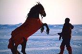 Séance de dressage sur la banquise Cornwallis Island ; Les chevaux sont équipés de combinaisons en Gore Tex. Il leur faut s'habituer à leur nouvel environnement. Arctique canadien