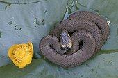 Couleuvre à collier en repos sur une feuille de nénuphar