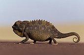 Chameleon walking Namib desert Namibia
