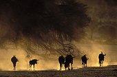 Blue wildebeest in dry riverbed Kalahari NP - RSA ; Kgalagadi Transfrontier Park