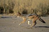 Black-backed jackal hunting Kalahari NP - Northern Cape RSA ; Kgalagadi Transfrontier Park